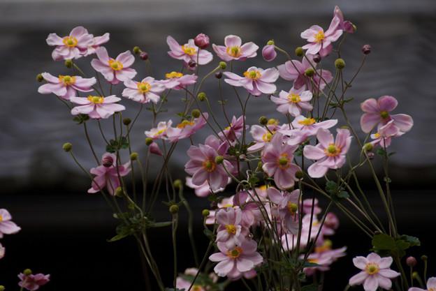 Photos: 秋明菊がいっぱい2012!