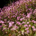 """Photos: ピンクの""""ヒメツルソバ""""の花が満開!121110a"""