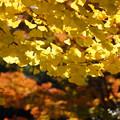 写真: イチョウの葉と紅葉!2012