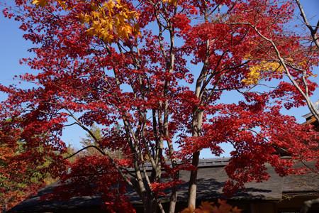 燃えるモミジの木!2012