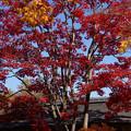 写真: 燃えるモミジの木!2012