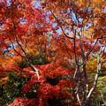 写真: 燃える秋の木立!2012