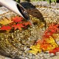 写真: 水鉢に浮かぶモミジ!2012