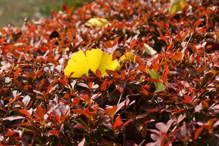 イチョウの落ち葉とドウダンツツジ!121124