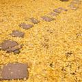 Photos: イチョウの落ち葉の中、飛び石!
