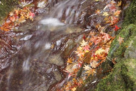 冬モミジが流れる小川!