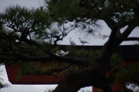 白い鳩、鶴岡八幡宮!