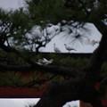 Photos: 白い鳩、鶴岡八幡宮!