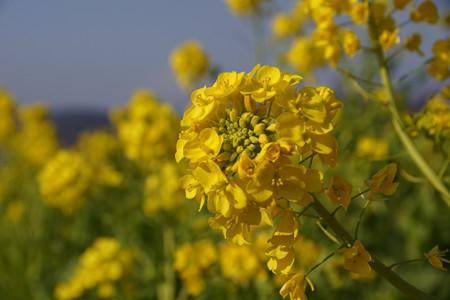 菜の花をアップで!2013