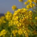 写真: 菜の花をアップで!2013