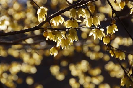 ロウバイの花が輝く!201301