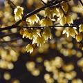 Photos: ロウバイの花が輝く!201301