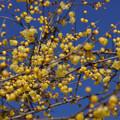 Photos: 青空にロウバイ咲く!201301