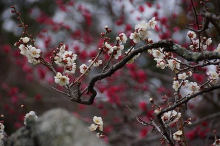 紅白の梅!201302