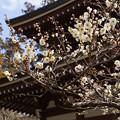 写真: 白梅とお寺の伽藍!201302