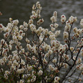 Photos: 春一番の中、咲く白梅!20130301