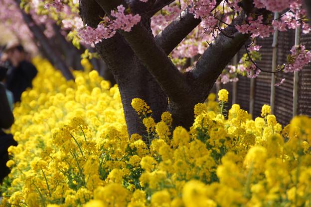 菜の花、三浦海岸!130309