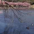 Photos: 河津桜の花見、小松ヶ池3!130309