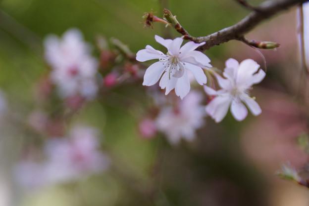 十月桜が咲いていますよ!130316