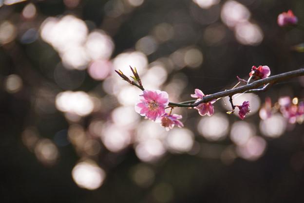 紅梅もまだ咲いています!130316