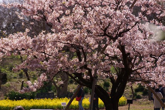 満開の玉縄桜!130316