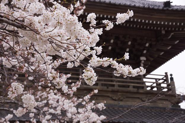 鎌倉最大の山門と桜!130323