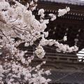 Photos: 鎌倉最大の山門と桜!130323