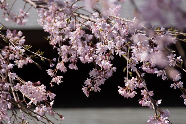 しだれ桜が満開に、北鎌倉!130322