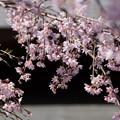 Photos: しだれ桜が満開に、北鎌倉!130322