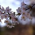 写真: 桜満開を楽しむ!
