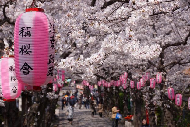 参道は桜のトンネルに!2013春
