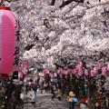 写真: 参道は桜のトンネルに!2013春