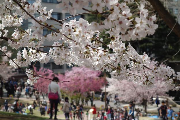 横浜の桜の花見!2013