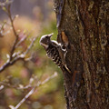 写真: コゲラの巣づくり!2013春