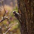 Photos: コゲラの巣づくり!2013春
