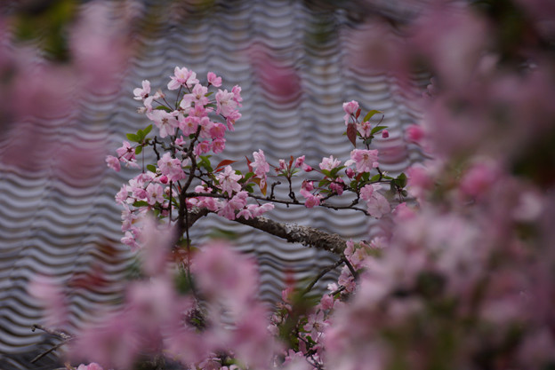海棠の花、光則寺!130330