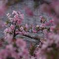写真: 海棠の花、光則寺!130330