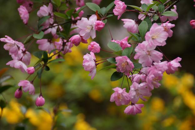 春色の海棠!