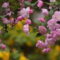 写真: 春色の海棠!