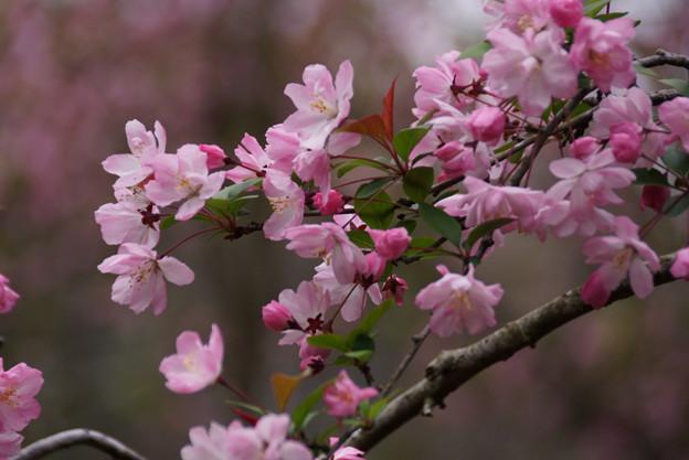 海棠の花2!