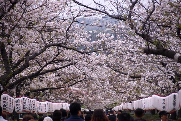 段葛の桜のトンネル!130330