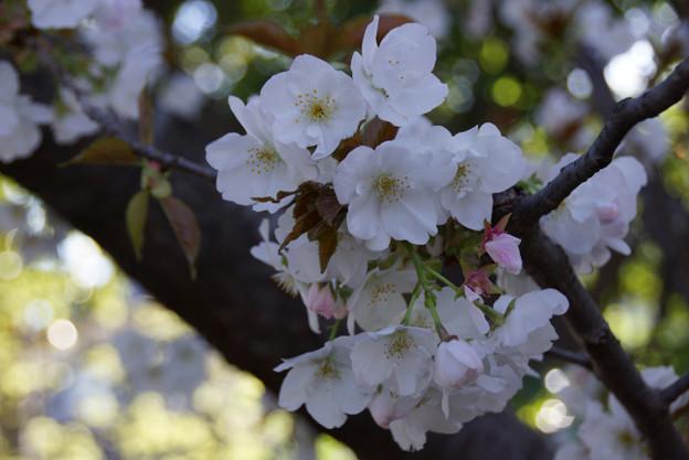 御室桜咲く2!130407