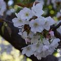 写真: 御室桜咲く2!130407