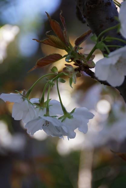 御室桜の花房!