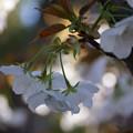 写真: 御室桜の花房!