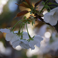 Photos: 御室桜の花房!