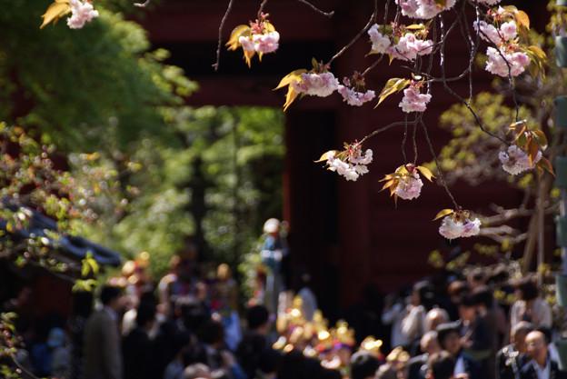 稚児行列と八重桜!130413