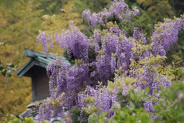 藤の花と光則寺2!130420