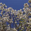 Photos: 青空に白花のハナミズキ!130427