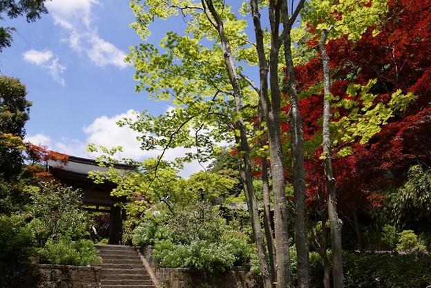 海蔵寺山門の新緑!130512